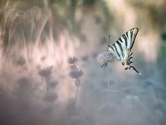 Amanecer (too15) Tags: iphiclidespodalirius butterflies bokeh macro mariposas light omd olympus em5 mzuiko60macro summer spain galicia ourense valdeorras