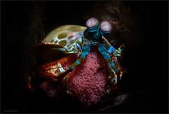 IMG_9715 (NonnaSP) Tags: animals bali diving macro mantisshrimp nature ocean odontodactylusscyllarus peacockmantisshrimp sea seraya snoot tulamben underwaterphotography water witheggs