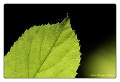 Feuilles (philippejubeau) Tags: vert arbre philippe couleur bois vegetal feuille limousin limoges bastide jubeau