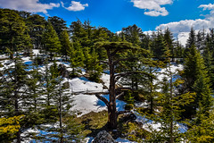 Dying Cedar Tree, The Cedars Lebanon (Paul Saad) Tags: cedars tree lebanon bsharri bcharre sky mountain nature landscape nikon outdoor plant skyline
