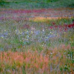 Sommerwiese (me*voil) Tags: meadow summer flowers weeds