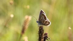 Brown Argus ~ Aricia agestis    {Explored} (Cosper Wosper) Tags: brownargus ariciaagestis butterflies butterfly hatchhill somerset
