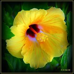 Hibiscus .. at 77 (Foto.Bloke) Tags: d200 hibiscus