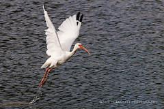 Takeoff (99baggett) Tags: audubon bird birdsanctuary birds egrets herons jmb1950 mbaggettphotography nature silverbluff silverbluffauduboncenter storks wildlife woodstorks whiteibis flight
