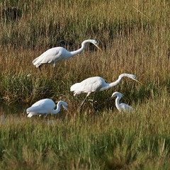 Early Morning Egrets, Back Cove (Bill Bunn) Tags: greategrets snowyegret portland maine