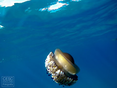 Medussa del Mediterrani 'Cotylorhiza tuberculata' (ou ferrat) jellyfish (Cesc Aromir Hdez) Tags: diving sea ocean open waters swimming dive swim jellyfish medussa medusses medusas mediterrani mediterrneo mediterranean tossa costabrava rhizostoma octopus medusa aguamala aguamar acalefo azul blau blue deep animal animals animales aqua natura nature cotylorhiza tuberculata