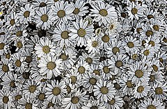 Flower-patterns-from-around-the-world--white-flowers--DSC01820 (mbgmbg) Tags: closeup desaturate flower flowers kw2flickr kwgooglewebalbum kwphotostream5 kwpotppt patternsofsmallsummerflowersfromaroundtheworld picasahdrish plant series seriesflowerpatternpower summerflowers takenbymarkgerstein amherst massachusetts unitedstates