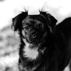 Grigio27Aug1600011-Edit.jpg (fredstrobel) Tags: dogs pawsatanta phototype atlanta blackandwhite usa animals ga pets places pawsdogs decatur georgia unitedstates us
