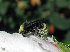 The early bee does not always get the pollen (Swallowtail Garden Seeds) Tags: bee hibiscus flower macro pollen swallowtailgardenseeds flowermacro macroflower beemacro macrobee perennial white whiteflower insect