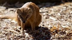 Yellow Mongoose (jhureley1977) Tags: yellowmongoose woburn woburnsafari ashutoshjhureley ashjhureley naturesvoice