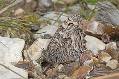 Grayling (Hipparchia semele) (drbut) Tags: grayling hipparchiasemele browns butterfly butterflies nature wildlife outdoor lepidoptera