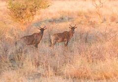 Tsesebe,  Damaliscus lunatus, Cawston Wildlife Estate, Matabeleland, Zimbabwe (Jeremy Smith Photography) Tags: africa cawstonblock cawstonwildlifeestate commontsesebe damaliscuslunatus jeremysmith jeremysmithphotographycouk jeremysmithphotographycom matabeleland safari topi tsesebe zimbabwe
