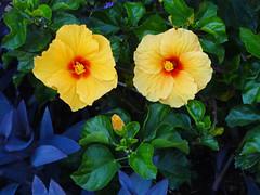 DSC00552 (gregnboutz) Tags: flower flowers bloomingflower bloomingflowers brightflowers colorfulflowers colorfulflower colorfulmacro colorfulmacros macro macros macroflower macroflowers m