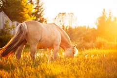 (ingrid.schnelle) Tags: canon eos 5d mark ii horse equine horsephotographer equinephotographer horseportrait nature outdoors outdoor norge norway sunset dreamy fairytale bokeh dof summer summertime 2016 horsephotography equestrian equinephotography magic magical sky evening night fjording fjordhest hest fjordhorse nationalhorse ef100mm f28l macro is usm goldenhour