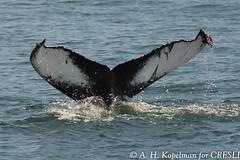 UNK.MN.CRESLI.2016-08-28-03 (ah_kopelman) Tags: unkmncresli2016082803 cresli megapteranovaeangliae montaukny montaukwhalewatch2016 vikingfleet humpbackwhale exif:isospeed=400 geocountry exif:make=nikoncorporation geocity geostate geo:lat=41014093333333 exif:focallength=400mm geolocation exif:model=nikond600 geo:lon=71890451666667 camera:model=nikond600 exif:aperture=ƒ56 camera:make=nikoncorporation