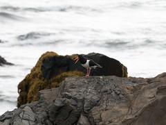 Haematopus ostralegus (Tanguy Martinez) Tags: haematopus ostralegus bird iceland sea coast