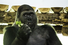 What you lookin' at (wilstony1) Tags: gorilla canon eos650d looking animal zoo