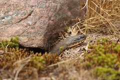 Northern Water Snake (SneakyBane) Tags: water snake watersnake northern killbear provincialpark provincial killbearpark northernwatersnake reptile summer summerphotography wildlife wild wildanimal animal wildlifephotography holiday vacation camping camp canon georgian georgianbay parrysound parry sound canada ontario muskoka brown basking sun sunning shed shedding northamerica america canadian rocks rocky moss killbearprovincialpark kill bear ontarioparks canoneosrebelt5 rebel canonrebel rebelt5 t5 200mm canonrebelt5 rebecca idzerda rebeccaidzerda 2016