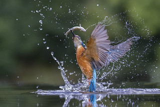 Kingfisher - Scotland