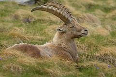Alpine Ibex (marypink) Tags: parconazionalegranparadiso ceresolereale piemonte valleorco mammalia artiodactyla bovidae caprinae nikond7200 nikkor80400mmf4556