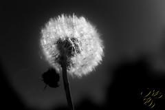 Sur le dpart (Thierry Poupon) Tags: taraxacum blanc ciel dendelion pissenlit noiretblanc blackandwhite light backlight contrejour