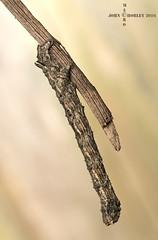 Twig or Caterpillar ? (John Chorley) Tags: caterpillar closeup macro nature moth macrophotography johnchorley nikkor105mmlens wildlife garden 2016