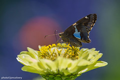 JSM_9743silverspottedskipper2jsm (JayEssEmm) Tags: silverspottedskipper silver spotted skipper butterfly butterflies flower flowers towerhillbotanicgarden boylston massachusetts ma jsmcelvery mcelvery
