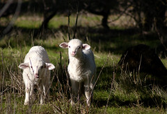 Stop staring at meeeeeeeeee! (diego_russo) Tags: sardegna white blanco sardinia lamb weiss bianco sardinien agnello cordero sarda sardigna macomer sardenha sardinnia anzone macumere diegorusso macopsissa