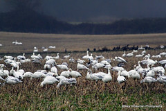 Snow Geese (Gary Grossman) Tags: wild nature birds oregon landscape geese natural northwest wildlife flock pacificnorthwest sauvieisland sauvie snowgeese