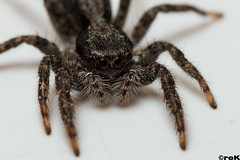 Spider Macro (reKittson) Tags: macro canon insect spider arachnid rek edmo 2013 550d t2i 100mm28l