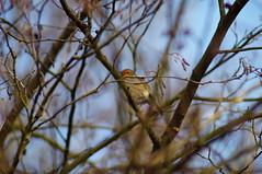 DSC00534 (diervilla) Tags: trees winter robin birds sony tamron askhambog yorkshirewildlifetrust slta37