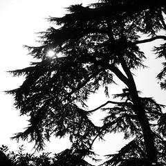 _MG_9046R Placed Before the Sky, Enlightenshade, Jon Perry, 2-2-13 (Jon Perry - Enlightenshade) Tags: blackandwhite bw tree silhouette treesilhouette 2213 jonperry enlightenshade arranginglightcom 20130202 placedbeforethesky