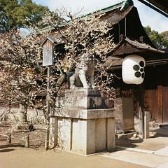 Guardian (Wunkai) Tags: 120 statue mediumformat temple kyoto shrine lantern ume    japaneseapricot kodakportra400nc  prunusmume  sankomon kitanotenmang  rolleiflex35fxenotar