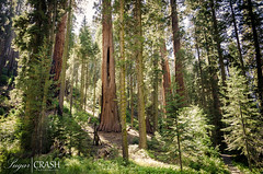Forest (OmegaMoth) Tags: life california park trees light plants brown green nature colors beautiful forest landscape gold nationalpark amazing nikon earth magic awesome september adventure journey ethereal land dslr magical sequoia sequoianationalpark 2012 usnationalpark giantforest sequoiatrees rimrocktrail sequoianationalparkcalifornia d7000 nikond7000 sugarcrashphotography