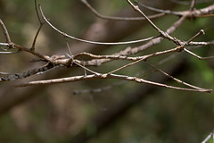 Spot the stick insect by Peter_Australis, on Flickr
