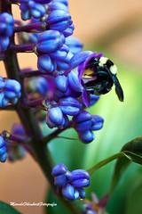 Mamangava (Marcelo Filimberti Fotografia) Tags: azul photo natureza flor inseto biologia photografy mamangava marcelofilimberti