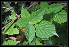 Vigne vierge  cinq folioles (Parthenocissus quinquefolia) (cquintin) Tags: parthenocissus quinquefolia