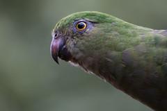 Australian King Parrot 2013-02-11 (IMG_1364) (ajhaysom) Tags: parrot australia victoria lorne australianbirds australiankingparrot alisterusscapularis lemonadecreekcottages