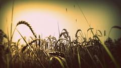 Cornfield Glow (**Hazel**) Tags: cornfield august hazel hdr 2012 ratby