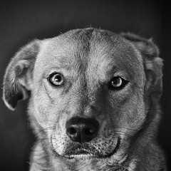 Ginger (Creative_Light_Photography) Tags: portrait blackandwhite bw dog monochrome photoshop silver fur eyes nikon bokeh alabama 85mm canine sharp retouching sharpening d90 sb26 hutnsville efex strobist dogphotographer 85mmf18afd silverefexpro2 splitfrequency