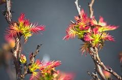 Multi-Color Spiky Plant #2 (Orbmiser) Tags: red plants green nature oregon portland bush nikon linux opensource multicolored d90 55200vr darktable