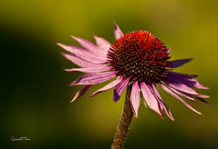 Echinacea Merlot (grandalloliver) Tags: flowers plants color nature colors beauty canon florida february perdido topaz perdidokey canonef70200mmf4l rebelxsi topazadjust grandalloliver grandalloliverphoto