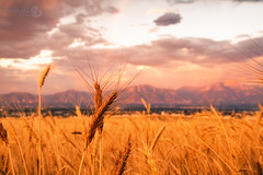 "Wheat and Rainbow (Scott Stringham ""Rustling Leaf Design"") Tags: nature canon landscape photography utah rainbow wasatch escape graphic earth wheat photograph passion lookatme westside rld stringham oquirrh bettereveryday scottstringham canon7d rustlingleafdesign wwwrustlingleafdesigncom wheatandrainbow"