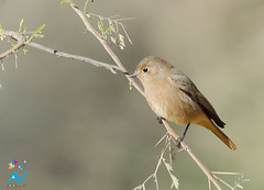 Black Redstart (Aravind Venkatraman) Tags: morning india black bird birds female nikon indian birding 300mm phoenicurus dslr aravind birdwatching f4 birder redstart phoenicurusochruros blackredstart birdphotography ochruros 14tc nikondslr birdsindia indiabirds incredibleindia indianbirds birdphotographer dslrnikon nikon300mmf4 avphotography nikon14tc d7000 nikond7000 talchappar d7000nikon