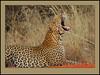 The awakening! (Rainbirder) Tags: kenya leopard africanleopard pantherapardus tsavowest pantheraparduspardus rainbirder