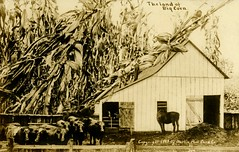 The Land of Big Corn (Alan Mays) Tags: old horses men vintage buildings giant paper corn funny humorous cattle cows farmers photos antique farming humor barns ephemera roofs photographs mammoth postcards cutting damage huge cornstalks farms repairing agriculture oversized printed exaggerations 1900s sawing 1909 rppc talltales realphotopostcards williamhmartin whmartin photographicamusements martinpostcardco postcardpublishers talltalepostcards