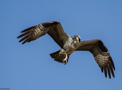 Female Osprey (RobinBuhl) Tags: bird nature birds female canon backyard wildlife 7d osprey avian birdsofprey millcreek bif colonialparkway birdwatcher jamescitycounty 100400