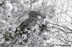 Great Gray Owl DSC_7637 (Ron Kube Photography) Tags: canada bird nature birds fauna nikon alberta owl greatgrayowl ornithology owls greatgray strixnebulosa southernalberta d300s globalbirdtrekkers ronaldok nikond300s ronkubephotography