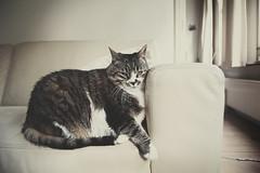 Propped up (moggierocket) Tags: cat neko katze leaning kedi headrest cuch thecatwhoturnedonandoff kedithecrazycat