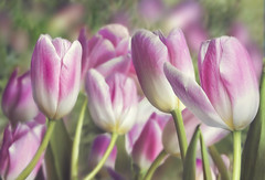 Pink Tulips (Jenny Onsager) Tags: pink flowers white green canon petals tulips bokeh tulipfestival tulipgarden pinktulips seaofpink frameit mygearandme mygearandmepremium mygearandmebronze mygearandmesilver mygearandmegold mygearandmeplatinum mygearandmediamond photographyforrecreationeliteclub spring2013 jennyonsager vigilantphotographersunite vpu2 vpu3 vpu4 vpu5 vpu6 vpu7 vpu8 vpu9 vpu10 seaofpinktulips tulips2013 frameitlevel3 frameitlevel2